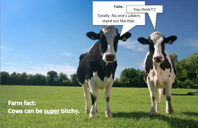 Bitchy cows gossip about fake udders